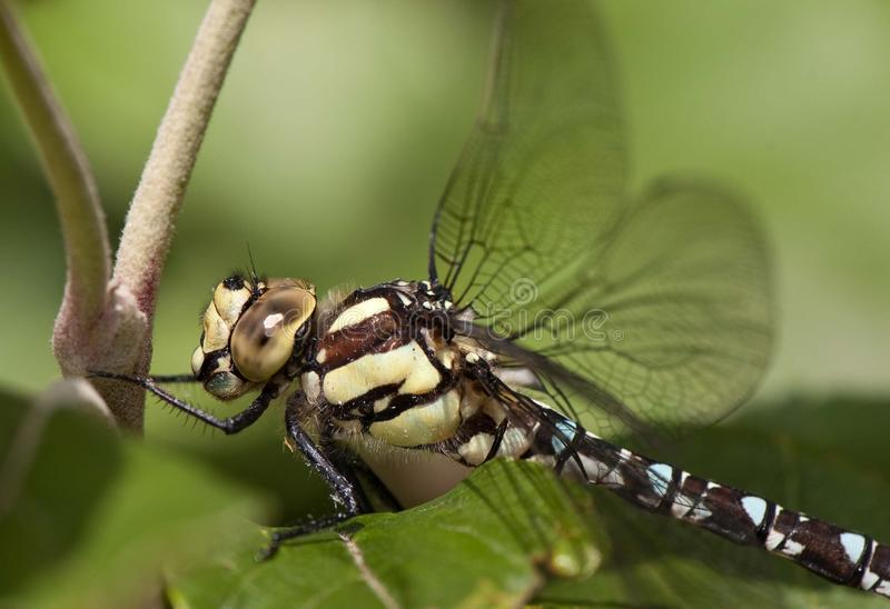 ramo su libellula dragonfly ветви стоковое фото rf