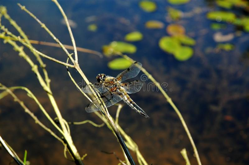 ramo su libellula dragonfly ветви стоковое фото
