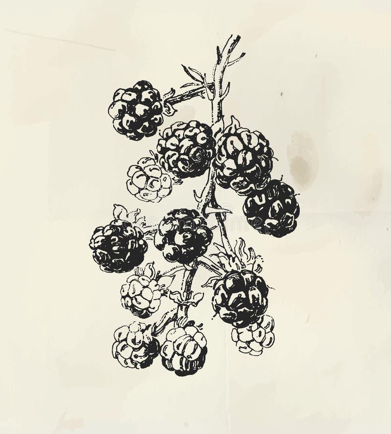 Ramo tirado tinta com frutos da amora-preta ilustração do vetor