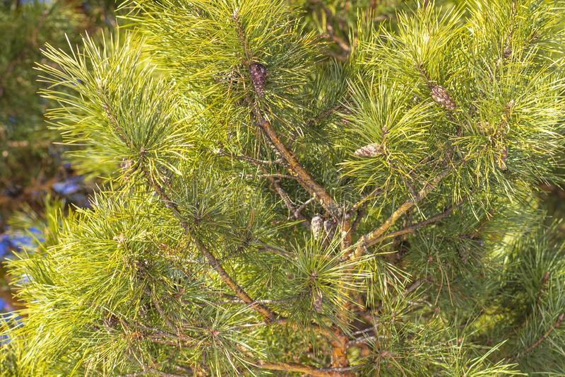 Ramo verde com agulhas do pinho fotos de stock