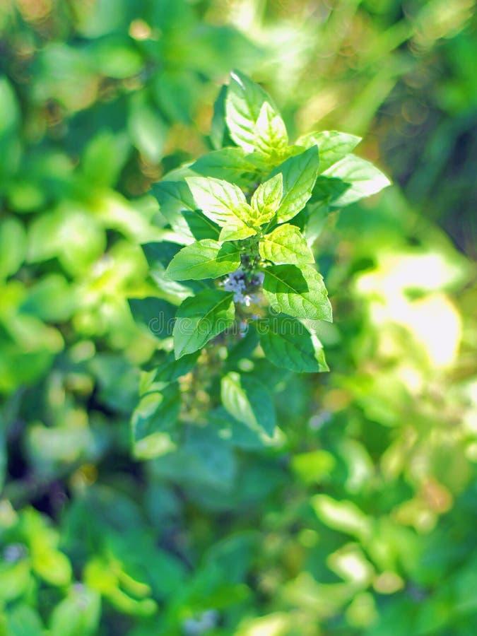 Ramo verde da hortelã fresca na cama do jardim no dia ensolarado imagens de stock