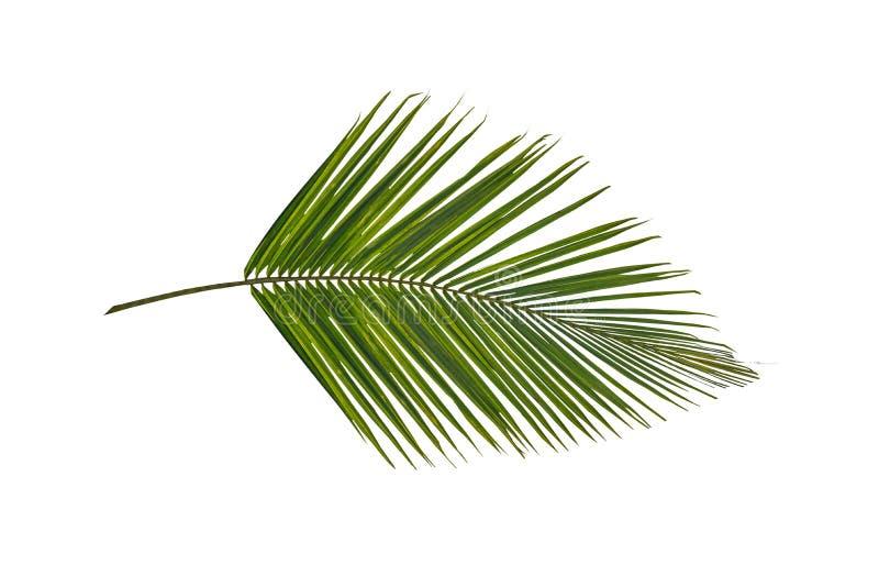 Ramo verde de uma folha de palmeira imagens de stock