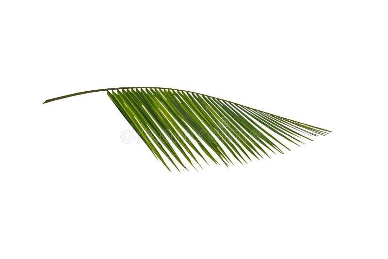 Ramo verde de uma palma imagem de stock