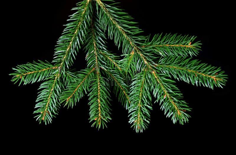 Ramo verde dell'abete fotografia stock