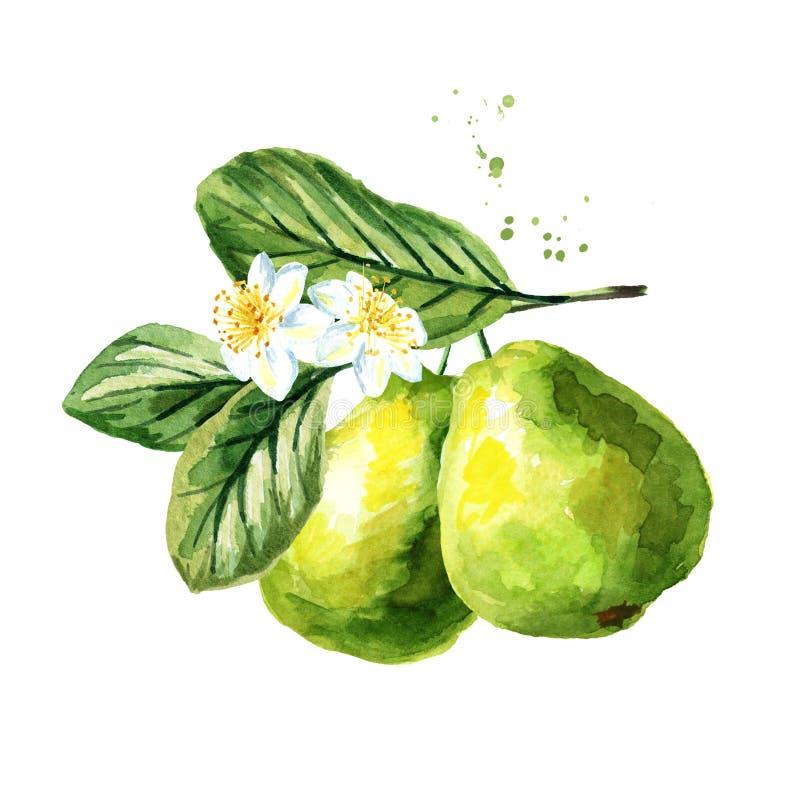 Ramo verde della guaiava con i frutti, le foglie ed i fiori, isolati su fondo bianco Illustrazione disegnata a mano dell'acquerel royalty illustrazione gratis
