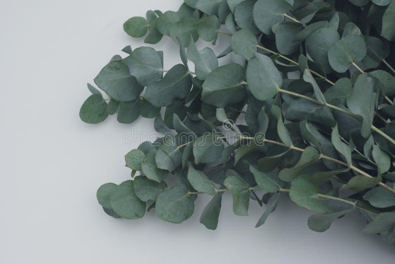 Ramo verde dos azuis bebê do eucalipto no fundo branco fotos de stock royalty free