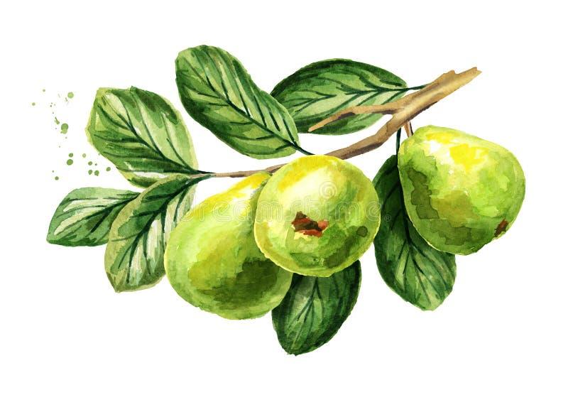 Ramo verde fresco della guaiava con i frutti, le foglie ed i fiori Illustrazione disegnata a mano dell'acquerello, isolata su fon illustrazione vettoriale