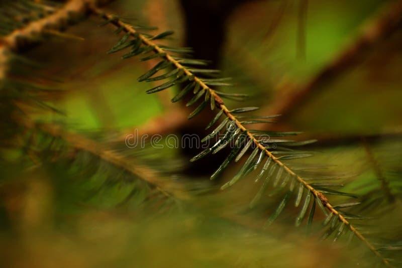 Ramo verde molhado do pinheiro fotografia de stock royalty free