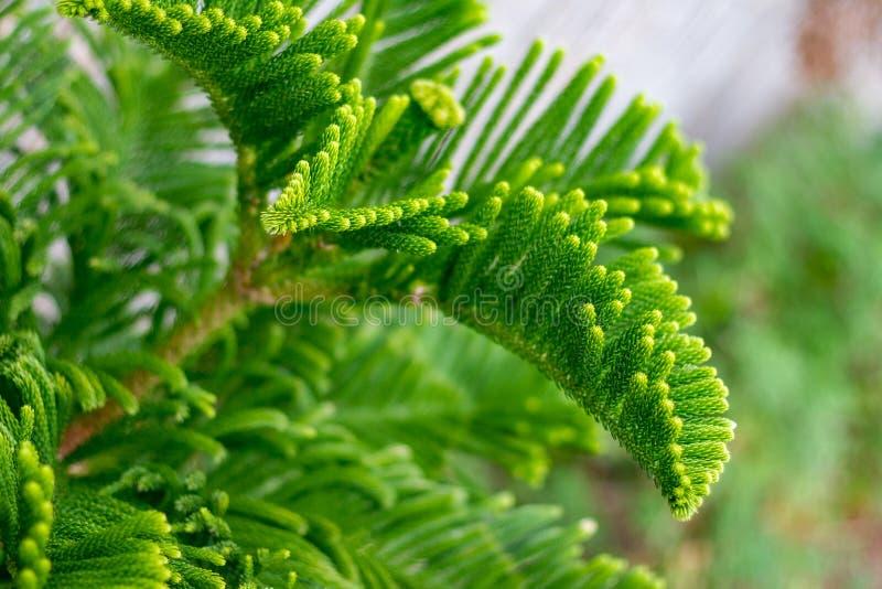 Ramo verde novo do pinheiro, close-up imagens de stock royalty free