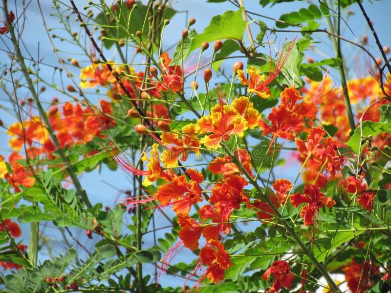 Ramo vertical del árbol de las flores de pavo real anaranjadas rojizas o de la flor de llama imagenes de archivo