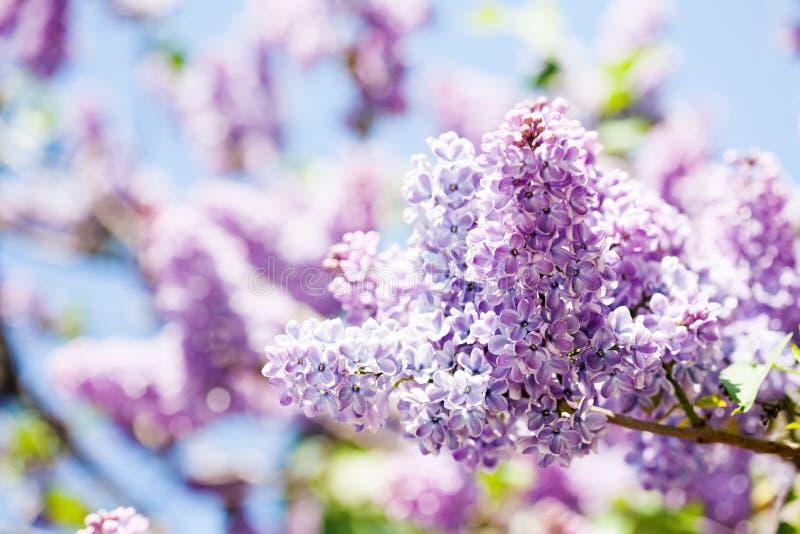 Ramo vulgaris sbocciante dei lillà della siringa del primo piano Fondo floreale di bella primavera con il mazzo di porpora viola fotografie stock
