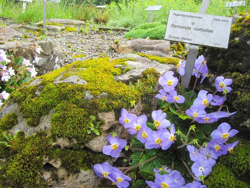 Ramonda Nathaliae, a flor típica de Balcãs foto de stock