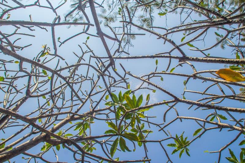 Ramos abstratos de leafless da árvore do Plumeria com fundo do céu azul Floresta de árvores da flor do Plumeria no templo budista fotos de stock royalty free