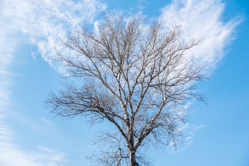 Ramos altos da bétula do Betulaceae do Fagales de Magnoliopsida do Magnoliophyta de Plantae da copa de árvore da árvore de vidoei imagem de stock royalty free