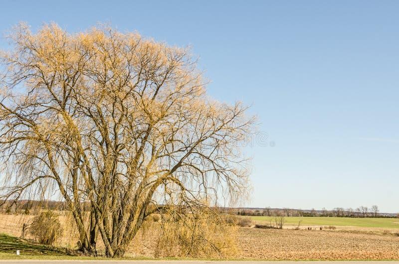 Ramos amarelos novos em uma árvore velha imagem de stock