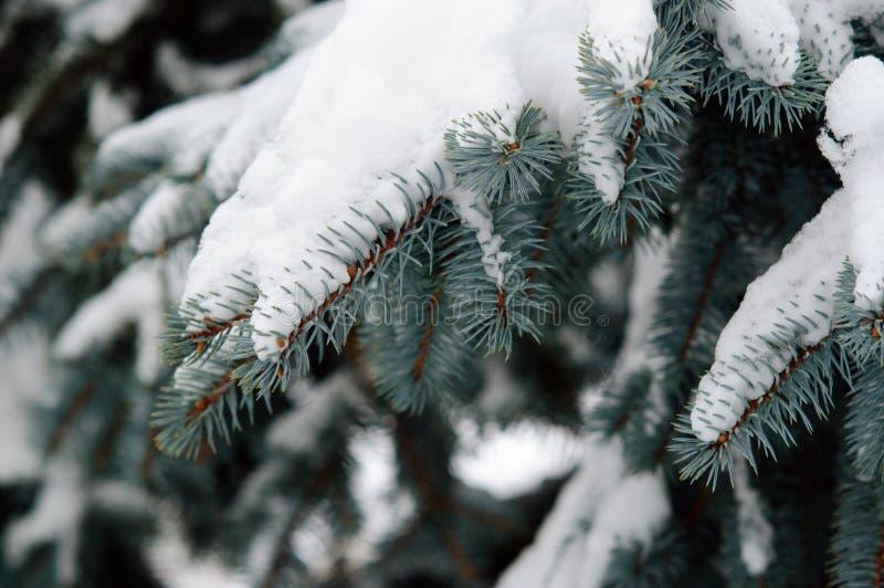 Ramos azuis do abeto vermelho sob a neve na floresta do inverno foto de stock