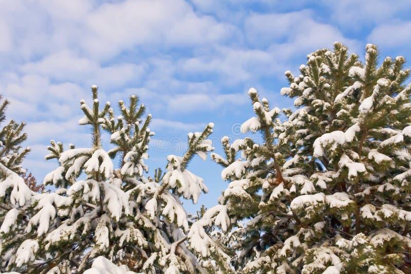 Ramos cobertos de neve de árvores coníferas contra o céu azul foto de stock