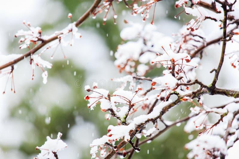 Ramos cobertos de neve de Berry Tree vermelho no inverno foto de stock royalty free