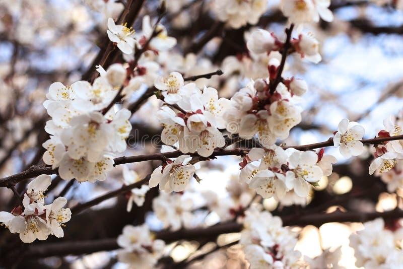 Ramos com as flores brancas do abricó com um fundo bonito da natureza fotos de stock royalty free