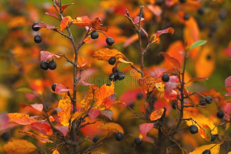 Ramos com bagas maduras e as folhas coloridas brilhantes no outono fotos de stock royalty free