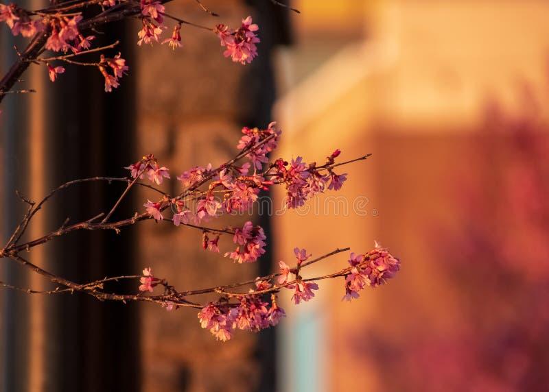 Ramos com os conjuntos de botões novos da flor de cerejeira no primeiro plano imagens de stock royalty free