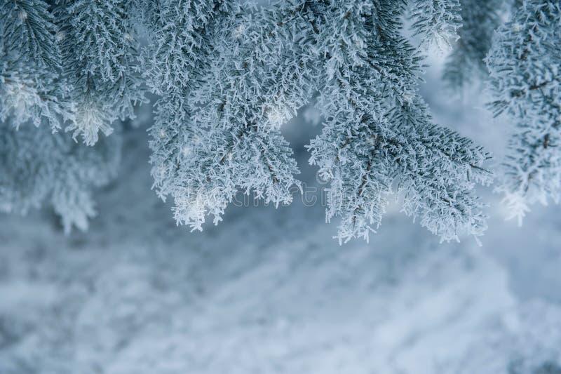 Ramos coníferos congelados no inverno branco fotos de stock