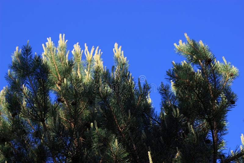 Ramos coníferos contra o céu azul no verão fotografia de stock