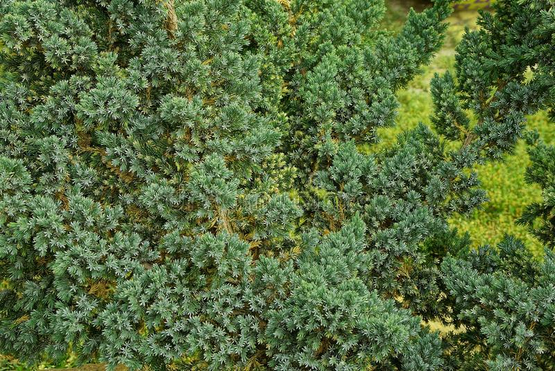 Ramos coníferos verdes pequenos em uma árvore decorativa no parque fotos de stock