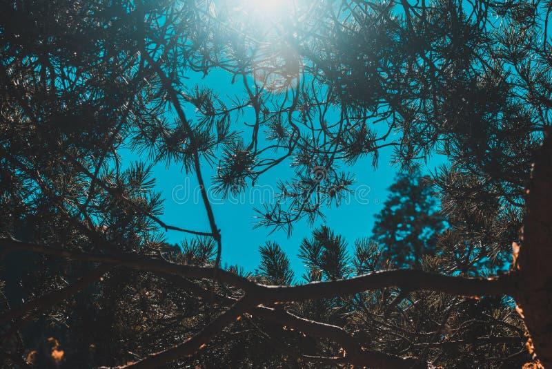Ramos contra o céu azul, raios do pinho do sol foto de stock