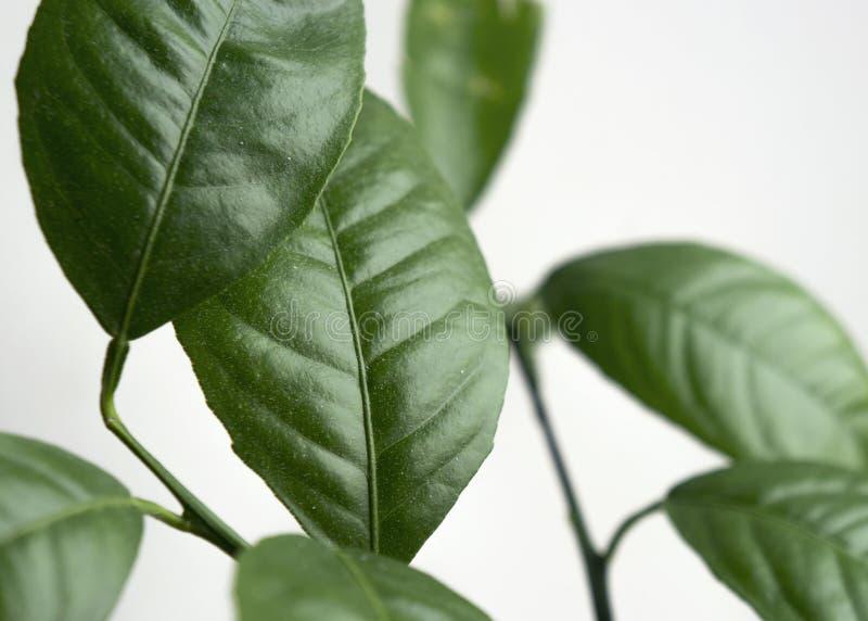 Ramos da árvore de limão com folhas foto de stock royalty free