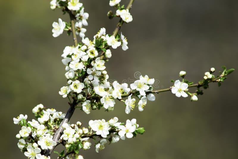 Ramos da ameixa de cereja que florescem em um jardim na mola, fundo, contexto imagem de stock