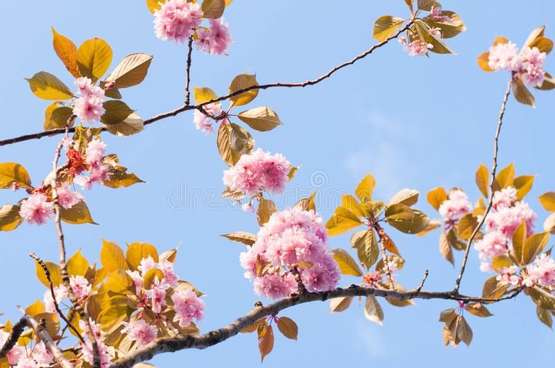 Ramos da flor de cerejeira imagens de stock royalty free