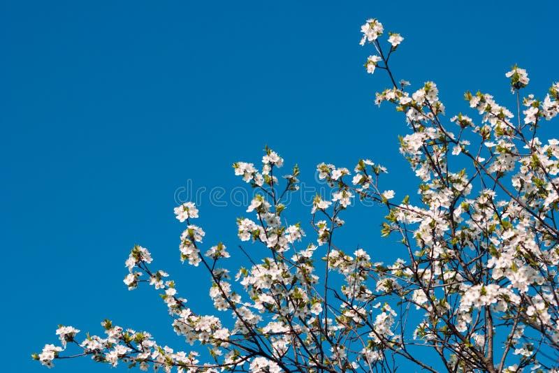 Ramos da flor da pera no fundo profundo do céu azul fotografia de stock