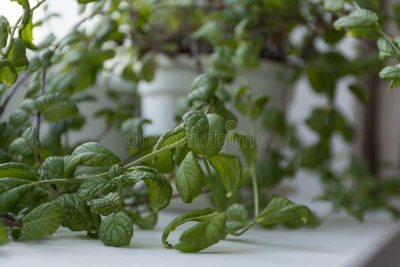 Ramos da hortelã de Bush, planta em um potenciômetro na janela fotos de stock