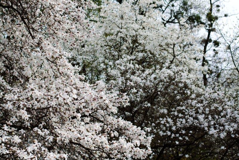 Ramos da magnólia com as flores de florescência do branco imagens de stock royalty free