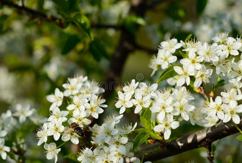 Ramos da mola da árvore de cereja com flores brancas e as folhas verdes frescas fotografia de stock royalty free