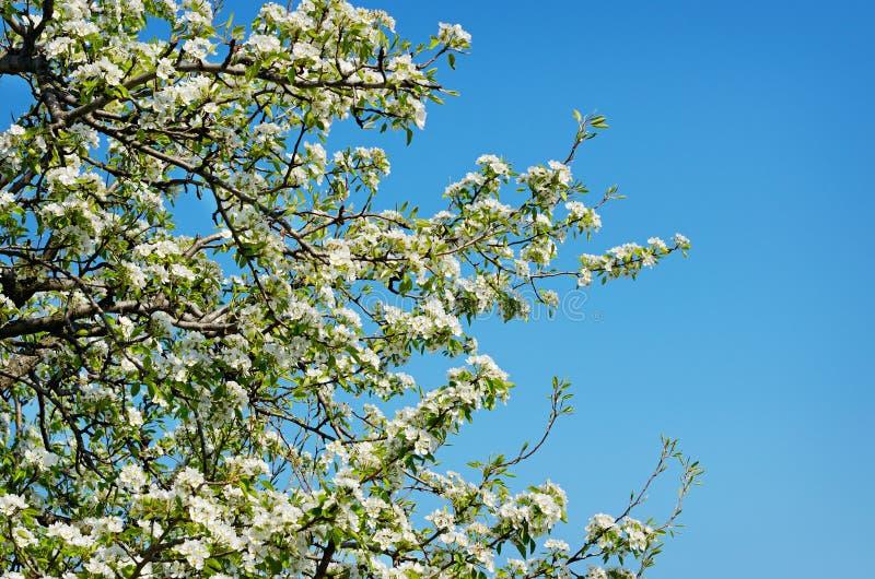 Ramos da mola da árvore de cereja com flores brancas e as folhas verdes frescas imagens de stock royalty free