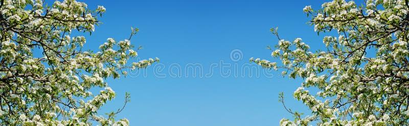 Ramos da mola da árvore de cereja com flores brancas e as folhas verdes frescas fotografia de stock