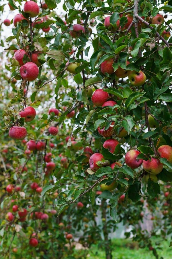 Ramos das árvores de maçã que dobram-se sob o peso dos frutos no jardim imagens de stock royalty free
