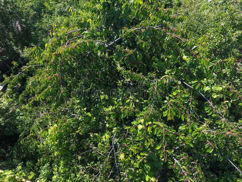 Ramos das cerejas com bagas maduras Cereja doce madura em uma árvore Amadurecimento das bagas da cereja doce foto de stock royalty free