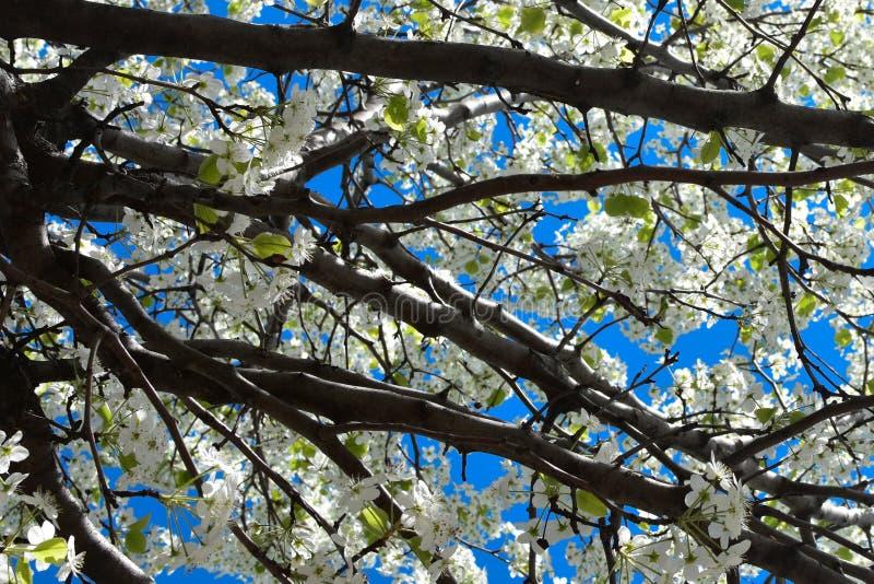 Ramos das flores de Apple com céu azul fotografia de stock
