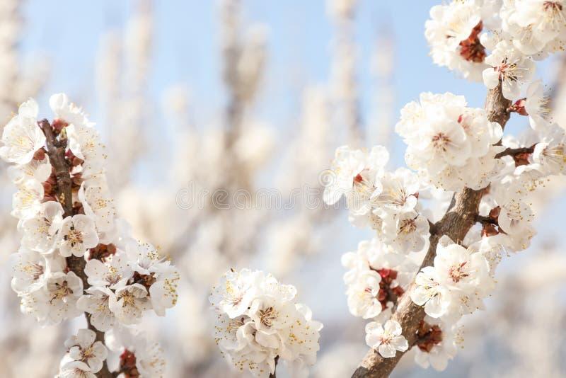 Ramos de árvore bonitos do abricó com as flores macias minúsculas fora, close up foto de stock royalty free