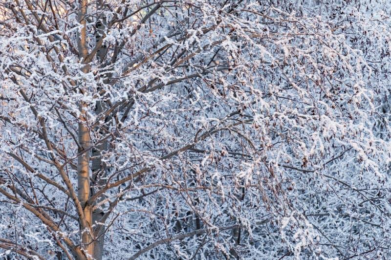 Ramos de árvore cobertos com a geada, fundo bonito do inverno fotografia de stock royalty free