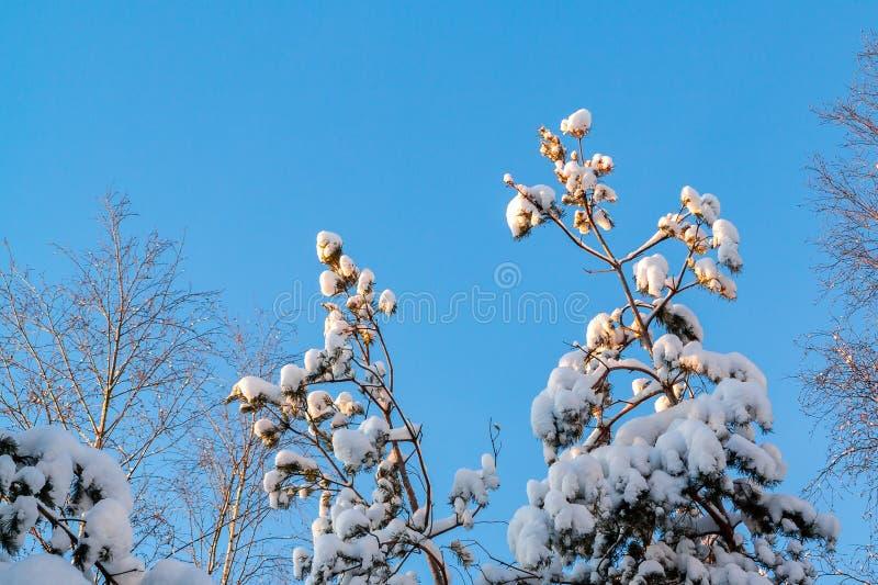 Ramos de árvore cobertos de neve na floresta do inverno contra o céu azul na luz do por do sol fotos de stock royalty free