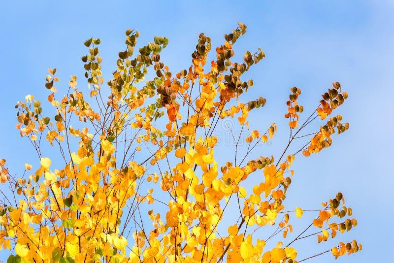 Ramos de árvore com as folhas do amarelo no outono fotografia de stock