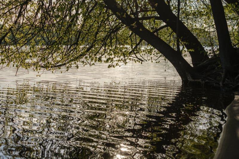 ramos de árvore com as folhas verdes frescas que penduram baixo à superfície da àgua no rio fotos de stock royalty free