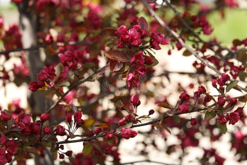 Ramos de árvore cor-de-rosa de Crabapple na flor fotografia de stock royalty free