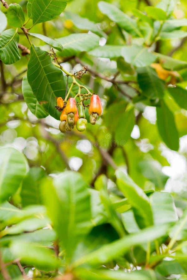 Ramos de árvore da porca do caju, verticais fotos de stock