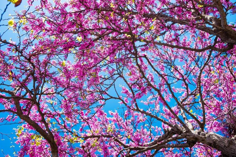 Ramos de árvore de florescência dos judas com flores cor-de-rosa e o céu azul na mola imagem de stock royalty free