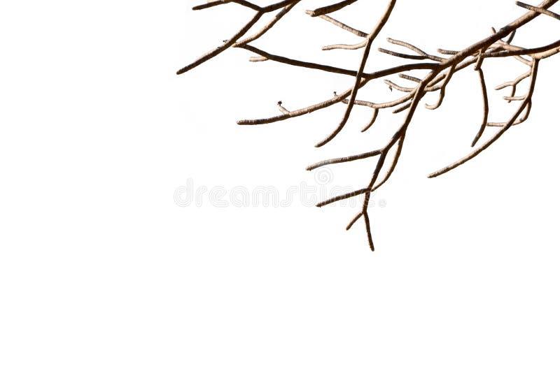 Ramos de árvore desencapados com fundo branco isolado forma leafless murcho natural bonita da planta arborizado do galho foto de stock